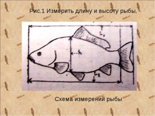 Рис.1 Измерить длину и высоту рыбы. Схема измерений рыбы