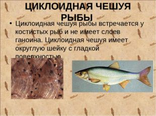 ЦИКЛОИДНАЯ ЧЕШУЯ РЫБЫ Циклоидная чешуя рыбы встречается у костистых рыб и не