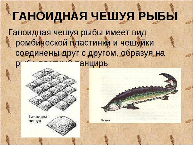 ГАНОИДНАЯ ЧЕШУЯ РЫБЫ Ганоидная чешуя рыбы имеет вид ромбической пластинки и...