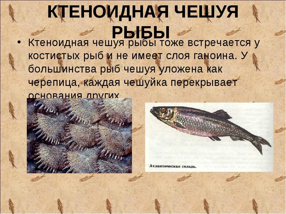 КТЕНОИДНАЯ ЧЕШУЯ РЫБЫ Ктеноидная чешуя рыбы тоже встречается у костистых рыб...