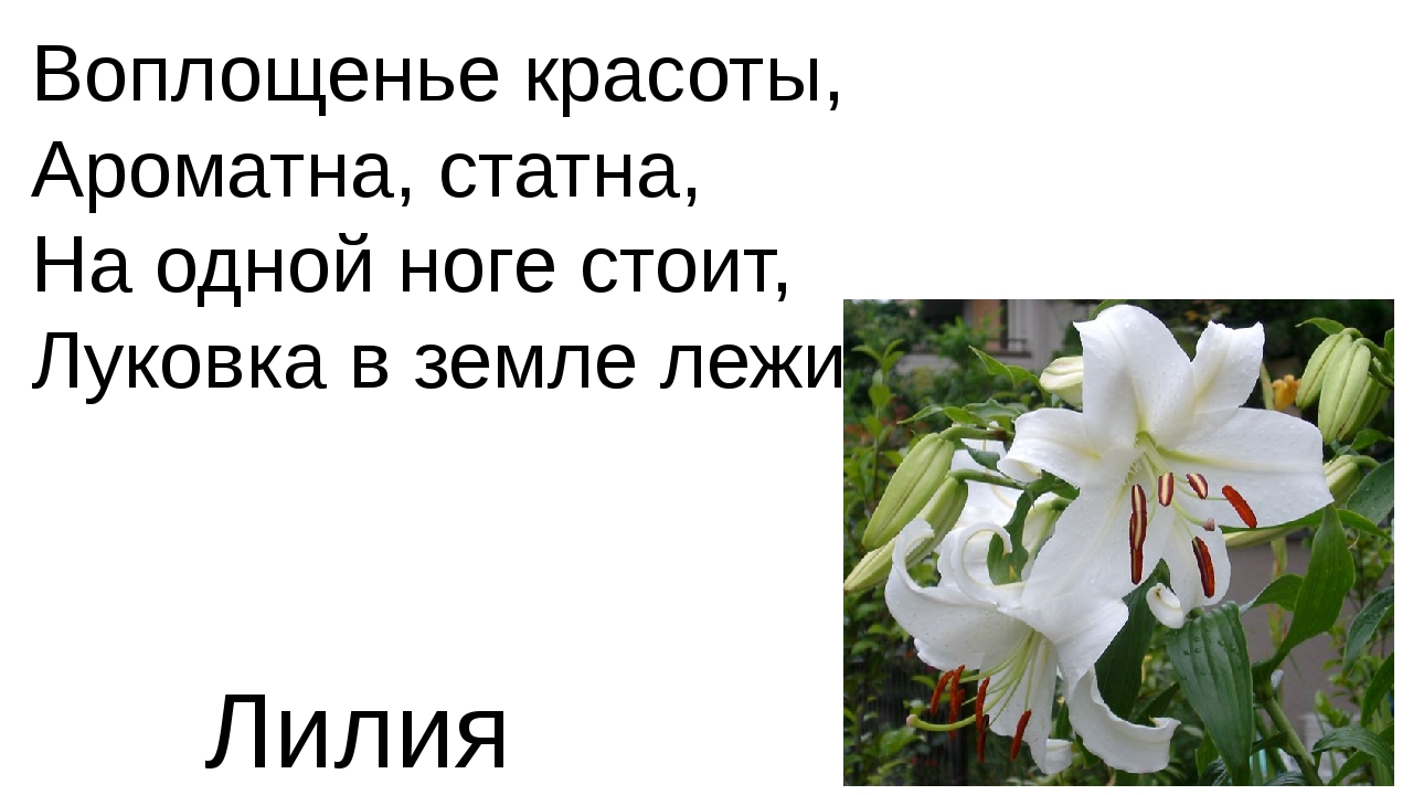 Воплощенье красоты, Ароматна, статна, На одной ноге стоит, Луковка в земле ле...