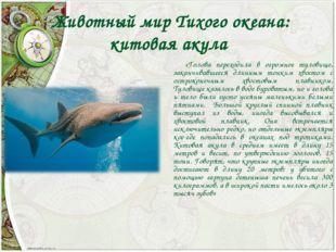 Животный мир Тихого океана: китовая акула «Голова переходила в огромное туло