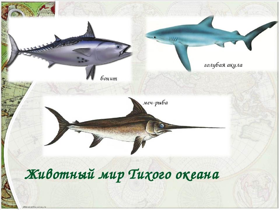 бонит меч-рыба голубая акула Животный мир Тихого океана