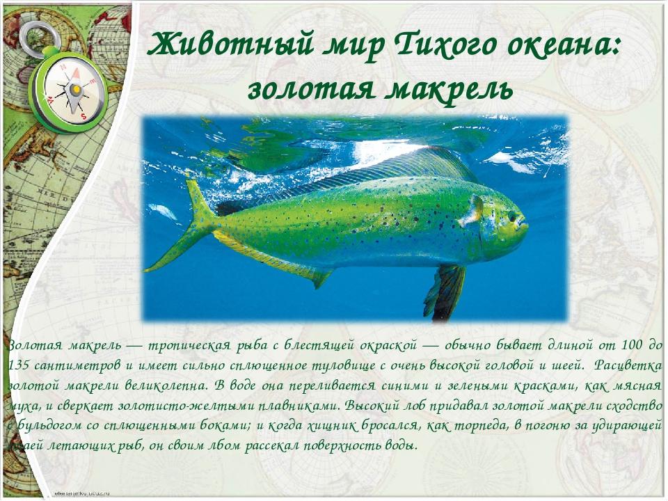 Животный мир Тихого океана: золотая макрель Золотая макрель — тропическая ры...