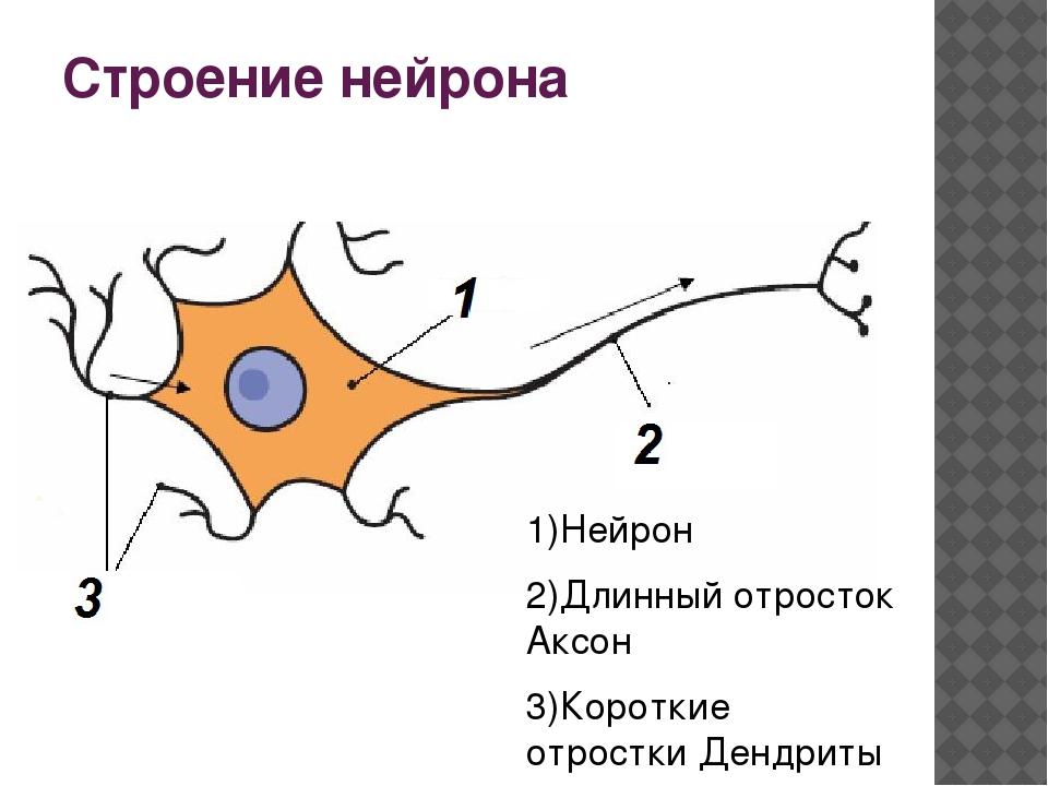 Строение нейрона 1)Нейрон 2)Длинный отросток Аксон 3)Короткие отростки Дендриты