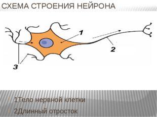 СХЕМА СТРОЕНИЯ НЕЙРОНА 1Тело нервной клетки 2Длинный отросток 3 Короткие отро