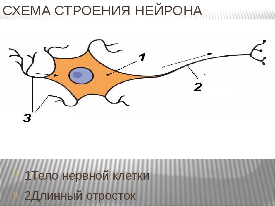 СХЕМА СТРОЕНИЯ НЕЙРОНА 1Тело нервной клетки 2Длинный отросток 3 Короткие отро...