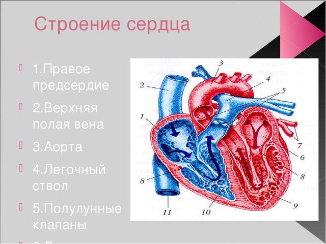 Строение сердца 1.Правое предсердие 2.Верхняя полая вена 3.Аорта 4.Легочный с...