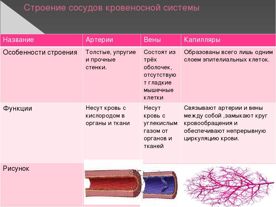 Строение сосудов кровеносной системы Название Артерии Вены Капилляры Особенно...