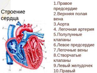 1.Правое предсердие 2.Верхняя полая вена 3.Аорта 4. Легочная артерия 5.Полу