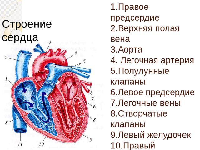 1.Правое предсердие 2.Верхняя полая вена 3.Аорта 4. Легочная артерия 5.Полу...