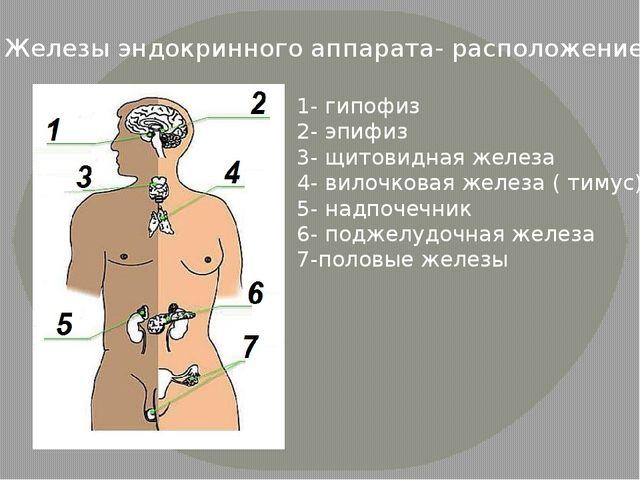 Железы эндокринного аппарата- расположение 1- гипофиз 2- эпифиз 3- щитовидная...