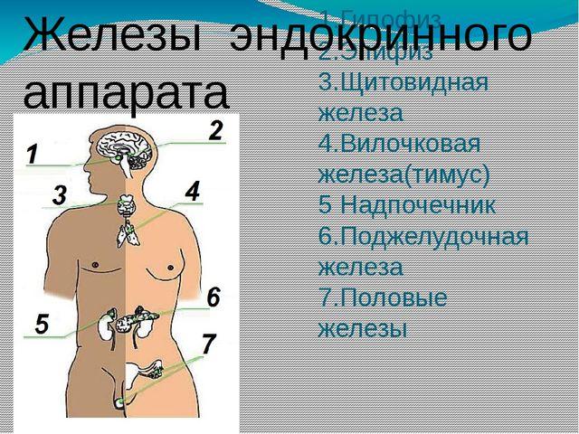 1.Гипофиз 2.Эпифиз 3.Щитовидная железа 4.Вилочковая железа(тимус) 5 Надпочечн...