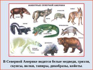 В Северной Америке водятся белые медведи, гризли, скунсы, волки, тапиры, дик