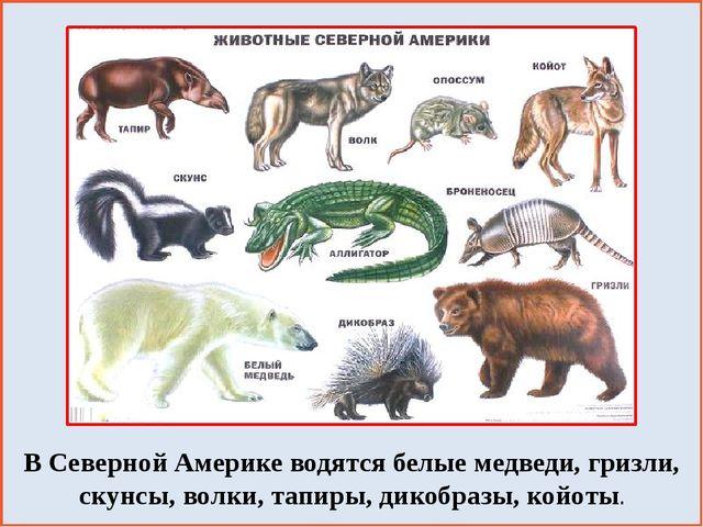 В Северной Америке водятся белые медведи, гризли, скунсы, волки, тапиры, дик...