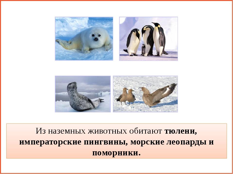 Из наземных животных обитают тюлени, императорские пингвины, морские леопард...