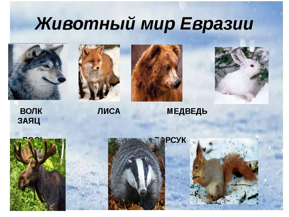 Животный мир Евразии ВОЛК ЛИСА МЕДВЕДЬ ЗАЯЦ ЛОСЬ БАРСУК БЕЛКА