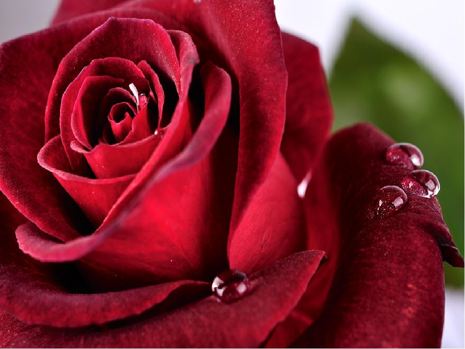 Бёрнс красная роза