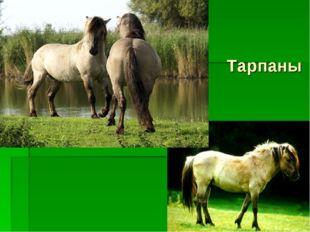 Тарпаны
