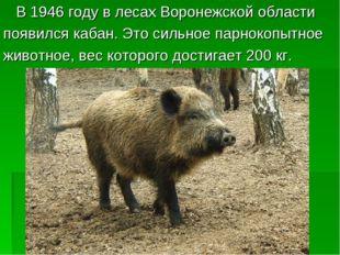 В 1946 году в лесах Воронежской области появился кабан. Это сильное парнокоп