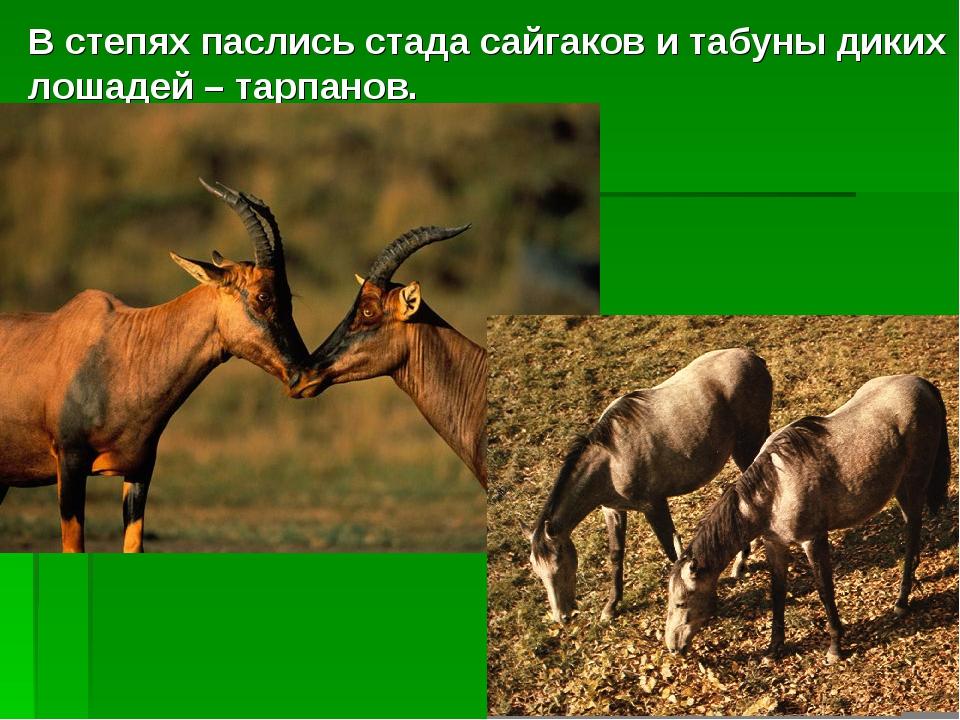 В степях паслись стада сайгаков и табуны диких лошадей – тарпанов.