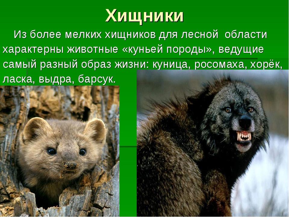 Хищники Из более мелких хищников для лесной области характерны животные «кун...