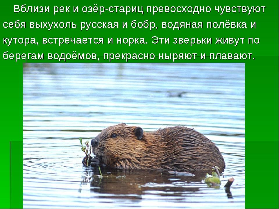 Вблизи рек и озёр-стариц превосходно чувствуют себя выхухоль русская и бобр,...