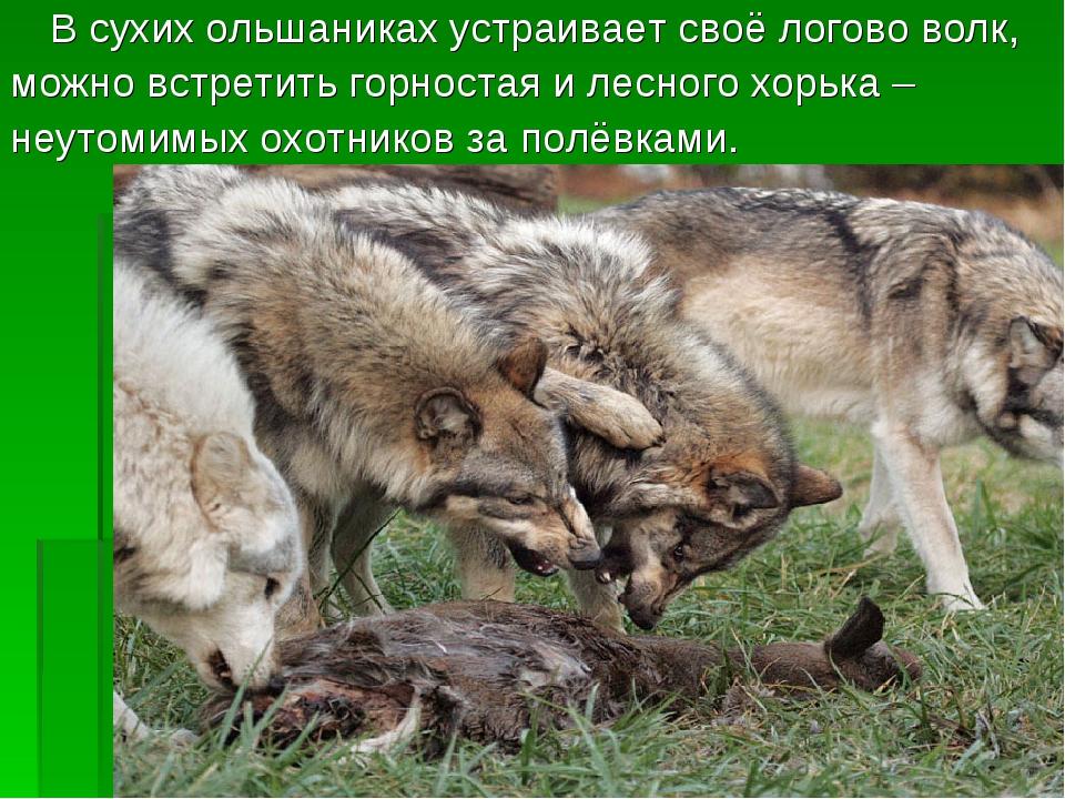 В сухих ольшаниках устраивает своё логово волк, можно встретить горностая и...