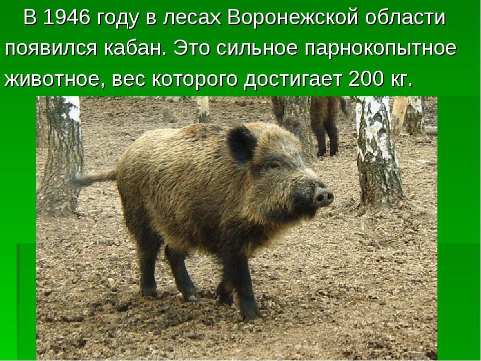 В 1946 году в лесах Воронежской области появился кабан. Это сильное парнокоп...