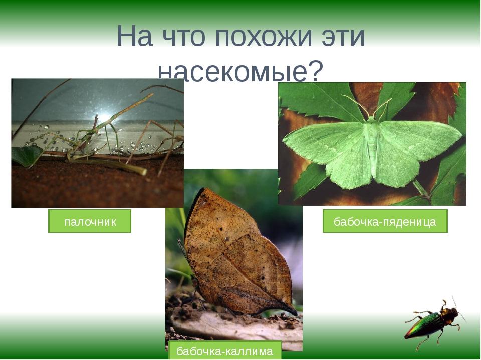 На что похожи эти насекомые? палочник бабочка-каллима бабочка-пяденица
