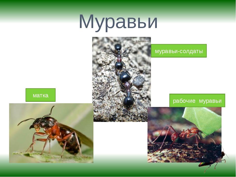 Муравьи матка муравьи-солдаты рабочие муравьи