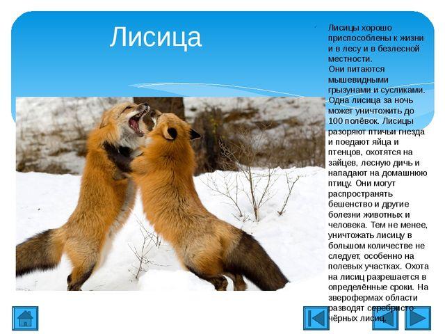 Лисица Лисицы хорошо приспособлены к жизни и в лесу и в безлесной местности....