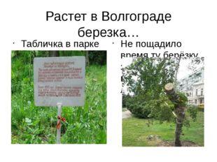 Растет в Волгограде березка… Табличка в парке в память о березке Не пощадило