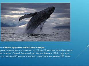 Киты —самые крупные животные в мире В среднем длина кита составляет от 22 до