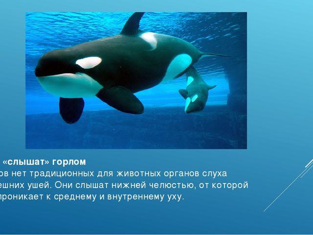Киты «слышат» горлом У китов нет традиционных для животных органов слуха —вн...