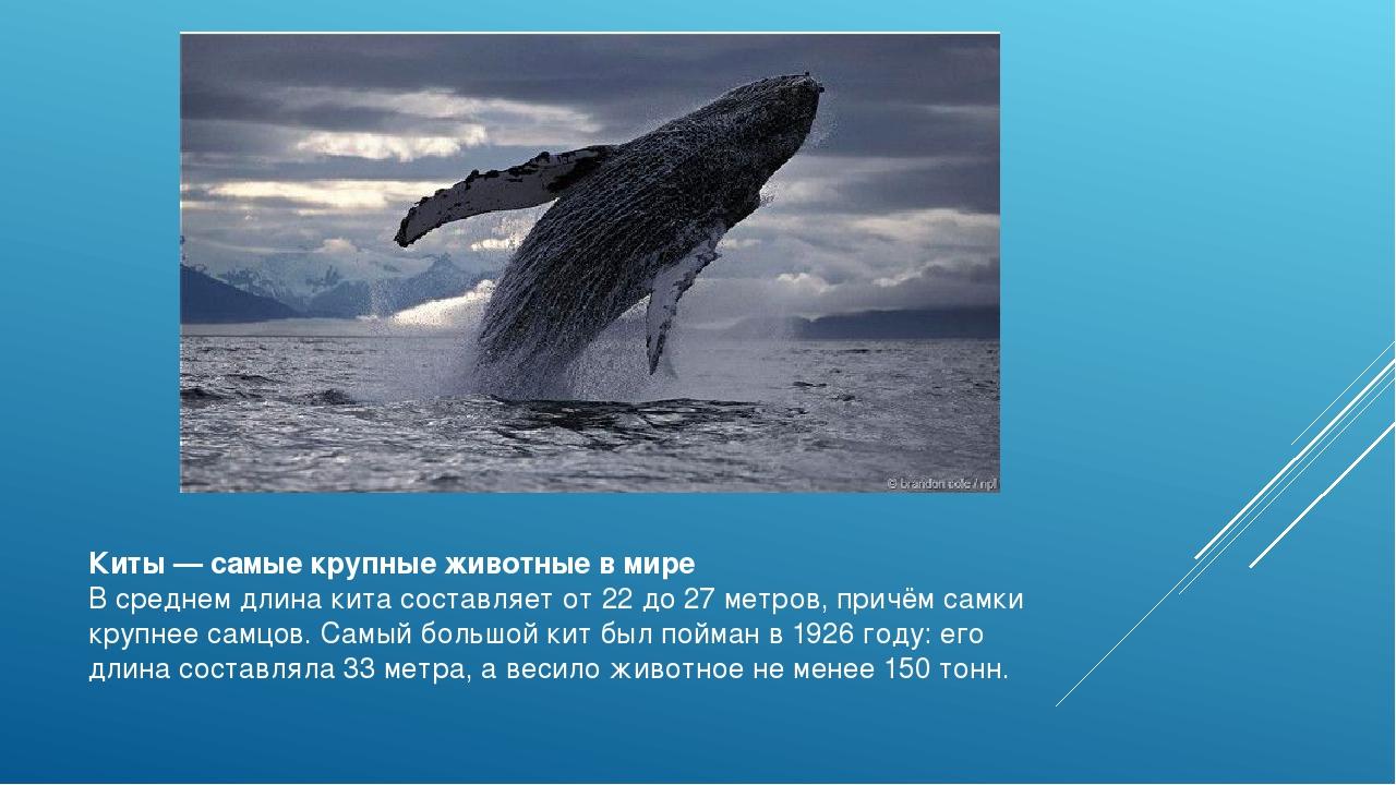 Киты —самые крупные животные в мире В среднем длина кита составляет от 22 до...