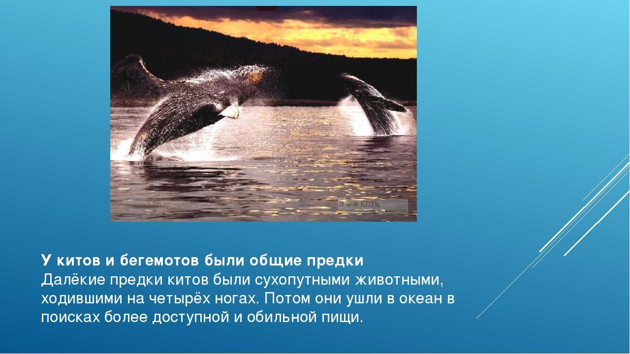 У китов и бегемотов были общие предки Далёкие предки китов были сухопутными ж...