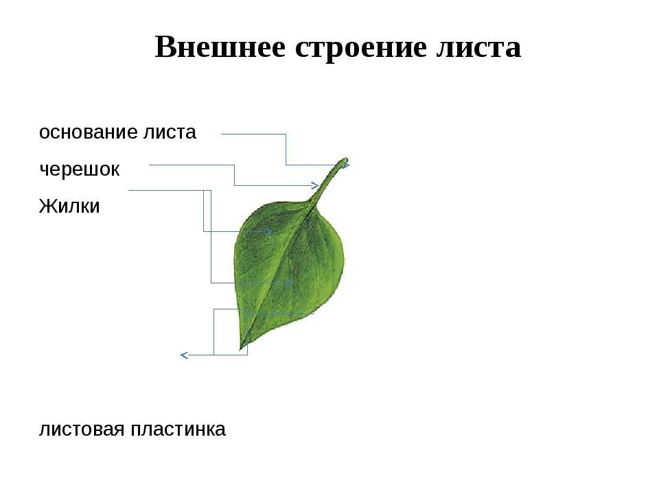 Внешнее строение листа основание листа черешок Жилки листовая пластинка