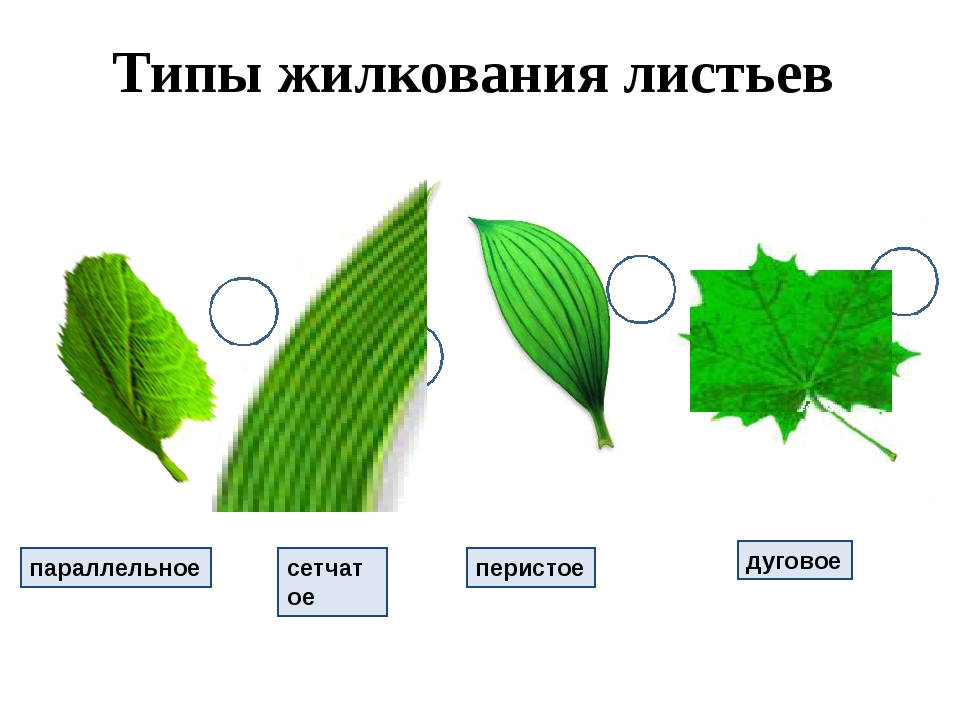Типы жилкования листьев параллельное сетчатое перистое дуговое 1 2 3 4