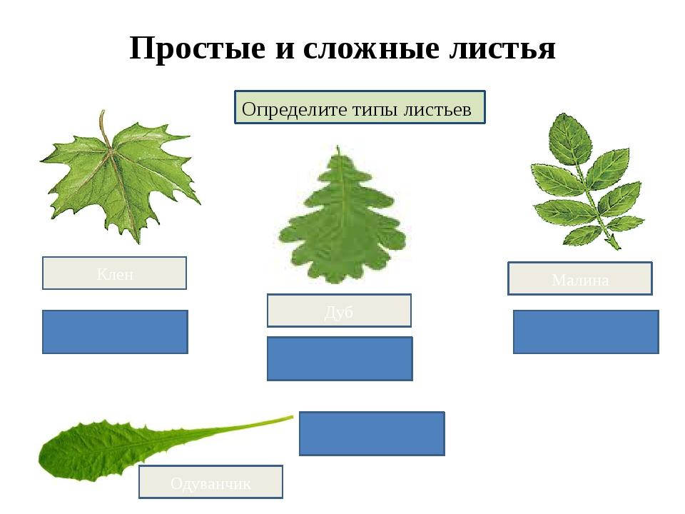 Простые и сложные листья Определите типы листьев простой сложный Малина Клен...