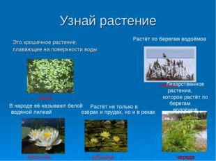 Узнай растение Это крошечное растение, плавающее на поверхности воды Растёт