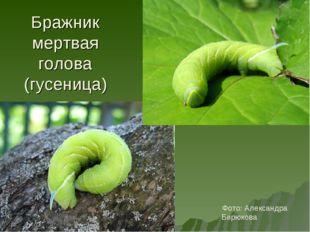 Бражник мертвая голова (гусеница) Фото: Александра Бирюкова