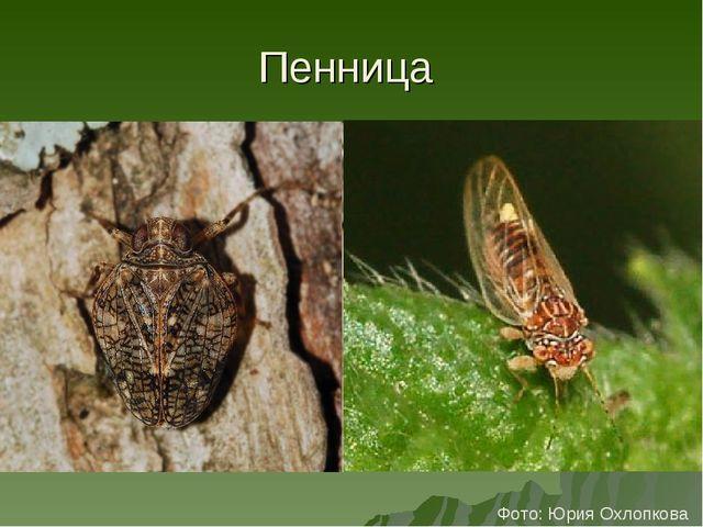 Пенница Фото: Юрия Охлопкова