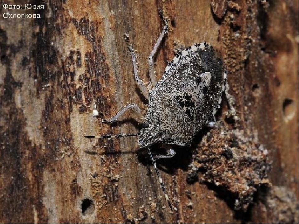 Пяденница березовая (охлопков), паук краб, клоп