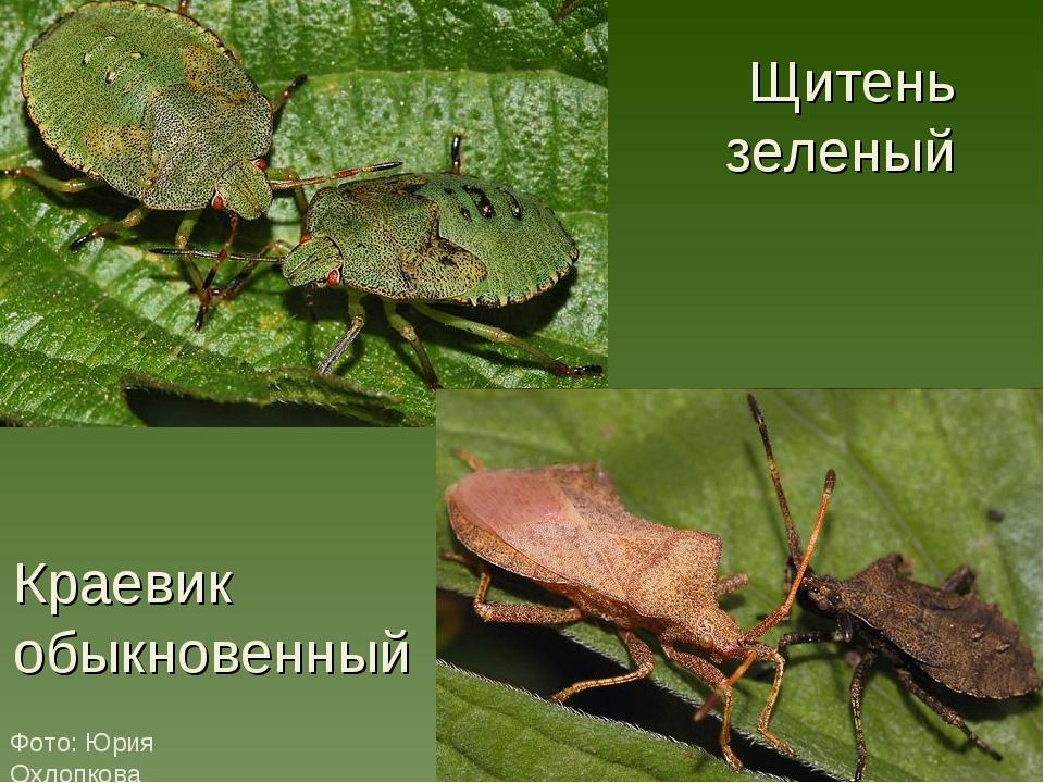 Щитень зеленый Фото: Юрия Охлопкова Краевик обыкновенный