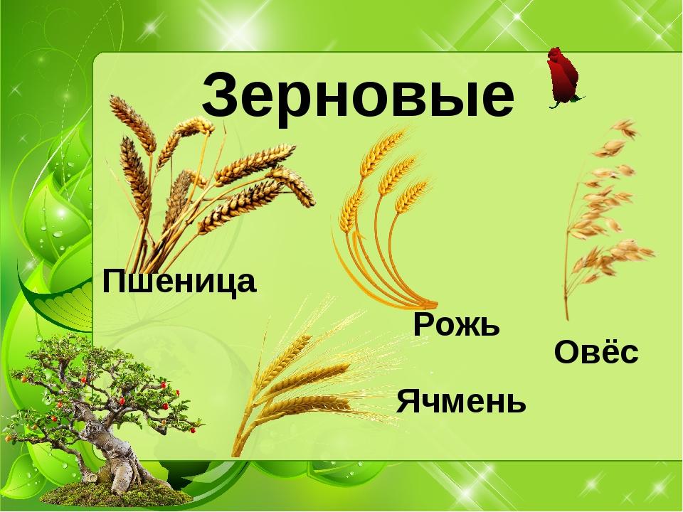 Зерновые Рожь Пшеница Ячмень Овёс