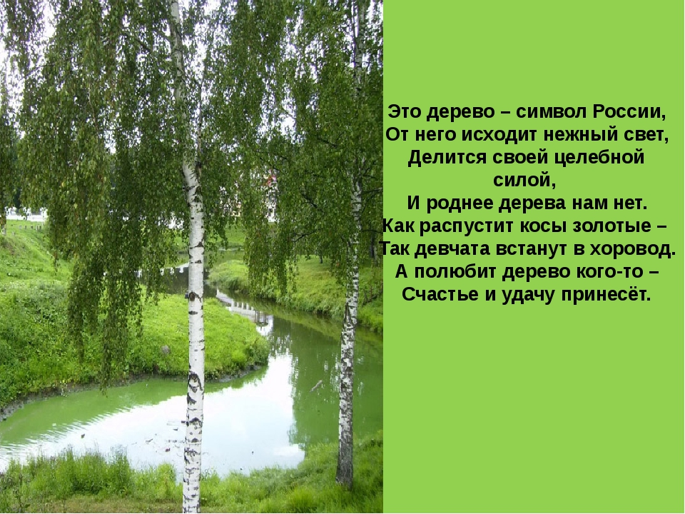 Это дерево – символ России, От него исходит нежный свет, Делится своей целебн...