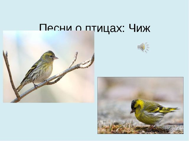 Песни о птицах: Чиж