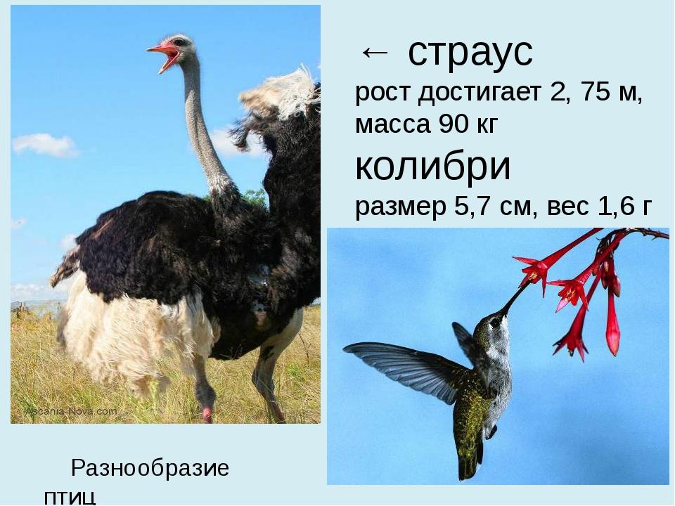 ← страус  рост достигает 2, 75 м, масса 90 кг колибри  размер 5,7 см, вес 1,6...