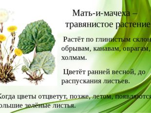 Мать-и-мачеха – травянистое растение. Растёт по глинистым склонам, обрывам,